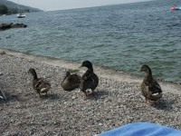 Bade-Enten in Brenzone
