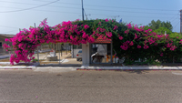 Bougainvillea extrabreit in Zacharo Beach